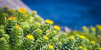 Rhodiola adaptacyjna roślina pożyteczna dla sportowców